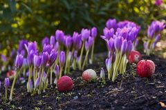 Herbstblume Colchicum, ähnlich Frühlingskrokussen Schön und giftig lizenzfreie stockfotos