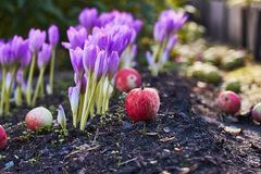 Herbstblume Colchicum, ähnlich Frühlingskrokussen Schön und giftig stockfotografie
