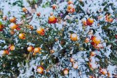 Herbstblume Colchicum, ähnlich Frühlingskrokussen Schön und giftig lizenzfreie stockbilder