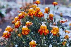 Herbstblume Colchicum, ähnlich Frühlingskrokussen Schön und giftig stockbild