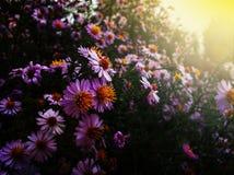 Herbstblumen, goldener Herbst stockbild