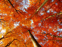 Herbstbuchenbäume Lizenzfreie Stockfotos