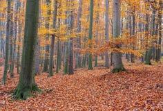Herbstbuchenwald Lizenzfreie Stockfotos