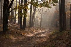 Herbstdämmerung in der Waldmorgensonne strahlt oder strahlt im Herbstpark oder -wald aus Stockbild