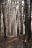 Herbstdämmerung in der Waldmorgensonne strahlt oder strahlt im Herbstpark oder -wald aus Stockfotografie