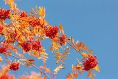Herbsteberesche gegen den blauen Himmel Stockfotografie