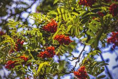 Herbstebereschenbaum Lizenzfreie Stockfotos