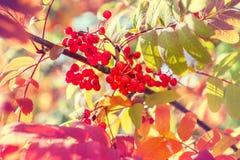 Baum im herbst mit vibrierenden roten bl ttern for Baum mit roten beeren