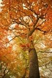 Herbsteichenbaum im Wald Stockbild