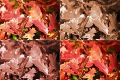 Herbsteichenblätter in vier Varianten Stockfotos