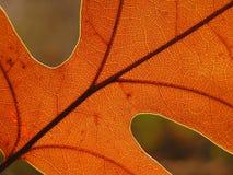 Herbsteichenblatt auf unscharfem Hintergrund Stockfoto