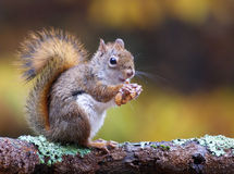 Herbsteichhörnchen Stockbild