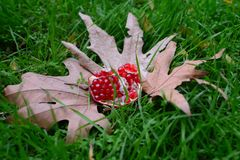 Herbsternte - Granatapfel Stockbilder