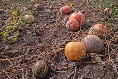 Herbsternte von Kürbisen Stockbilder