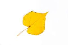 Herbstespen-Baumblatt lokalisiert auf weißem Hintergrund Mit clippi Lizenzfreies Stockbild