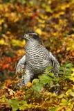 Herbstfalke stockbilder