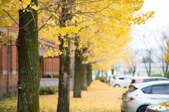 Herbstfarbe des Ginkgobaums Stockfoto