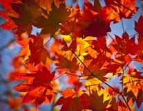 Herbstfarben, Acer-Blätter Stockfotos