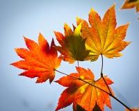 Herbstfarben, Acer-Blätter Stockfoto