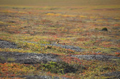 Herbstfarben der Tundra Stockbild