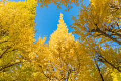 Herbstfarben des Ginkgo-Baums Lizenzfreie Stockfotos