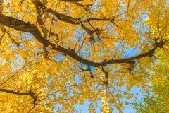 Herbstfarben des Ginkgo-Baums Lizenzfreie Stockfotografie