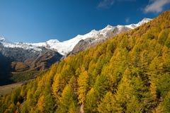 Herbstfarben des Waldes in der Saas Gebühr Lizenzfreie Stockbilder