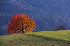 Herbstfarben; ein Kirschbaum Stockbilder