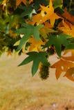 Herbstfarben - gelber japanischer Ahornbaum treibt Blätter (Acer-palmatum Lizenzfreie Stockfotografie