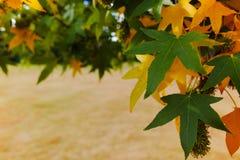 Herbstfarben - gelber japanischer Ahornbaum treibt Blätter (Acer-palmatum Stockbilder