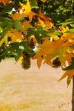Herbstfarben - gelber japanischer Ahornbaum treibt Blätter (Acer-palmatum Lizenzfreie Stockfotos