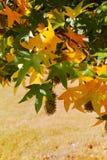 Herbstfarben - gelber japanischer Ahornbaum treibt Blätter (Acer-palmatum Stockbild