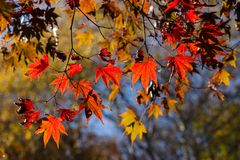 Herbstfarben von Ahornblättern in hintergrundbeleuchtetem Stockfotografie
