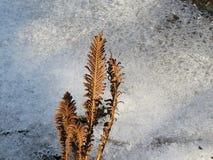 Herbstfarn im Hintergrund des Eises Stockfotografie
