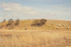 Herbstfeld mit Schafen Stockbilder