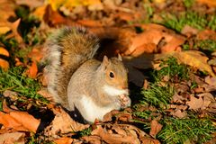 Herbstfest, graues Eichhörnchen speist unter knusperigem goldenem Laub stockbild