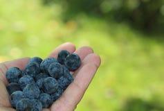 Herbstfrüchte, eine Handvoll Schlehdorne Stockbild