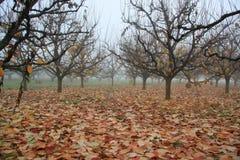 Herbstgarten mit nebelhaftem bewölktem Morgen der Persimonebäume früh Lizenzfreies Stockfoto