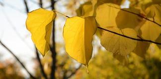 Herbstgelb lässt Hintergrund Stockfoto