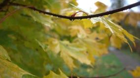 Herbstgelb verlässt naß nach Regen Stockbilder