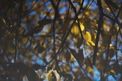 Herbstgelbblätter auf einem Baum Lizenzfreie Stockbilder