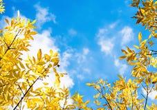 Herbstgelbblätter auf Hintergrund des blauen Himmels Lizenzfreies Stockfoto