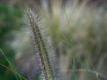Herbstgras-Naturhintergrund Nahaufnahme des grünen Fuchsschwanzes stockfotos