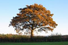 Herbsthedgerow-Eiche Stockfoto