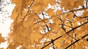Herbsthintergrund der gelben Blätter stock footage