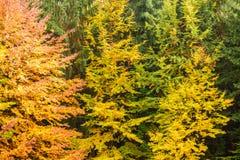 Herbsthintergrund im Holz Horizontale Ansicht einer Reinigung, Spitzen Lizenzfreies Stockbild
