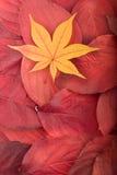 Herbsthintergrund vom Rot verlässt Ahornblatt Stockbilder