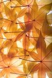 Herbsthintergrund von den Ahornblättern Stockbild