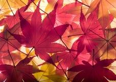 Herbsthintergrund von den Ahornblättern Lizenzfreie Stockfotos