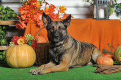 Herbsthund mit Kürbisen Stockbilder